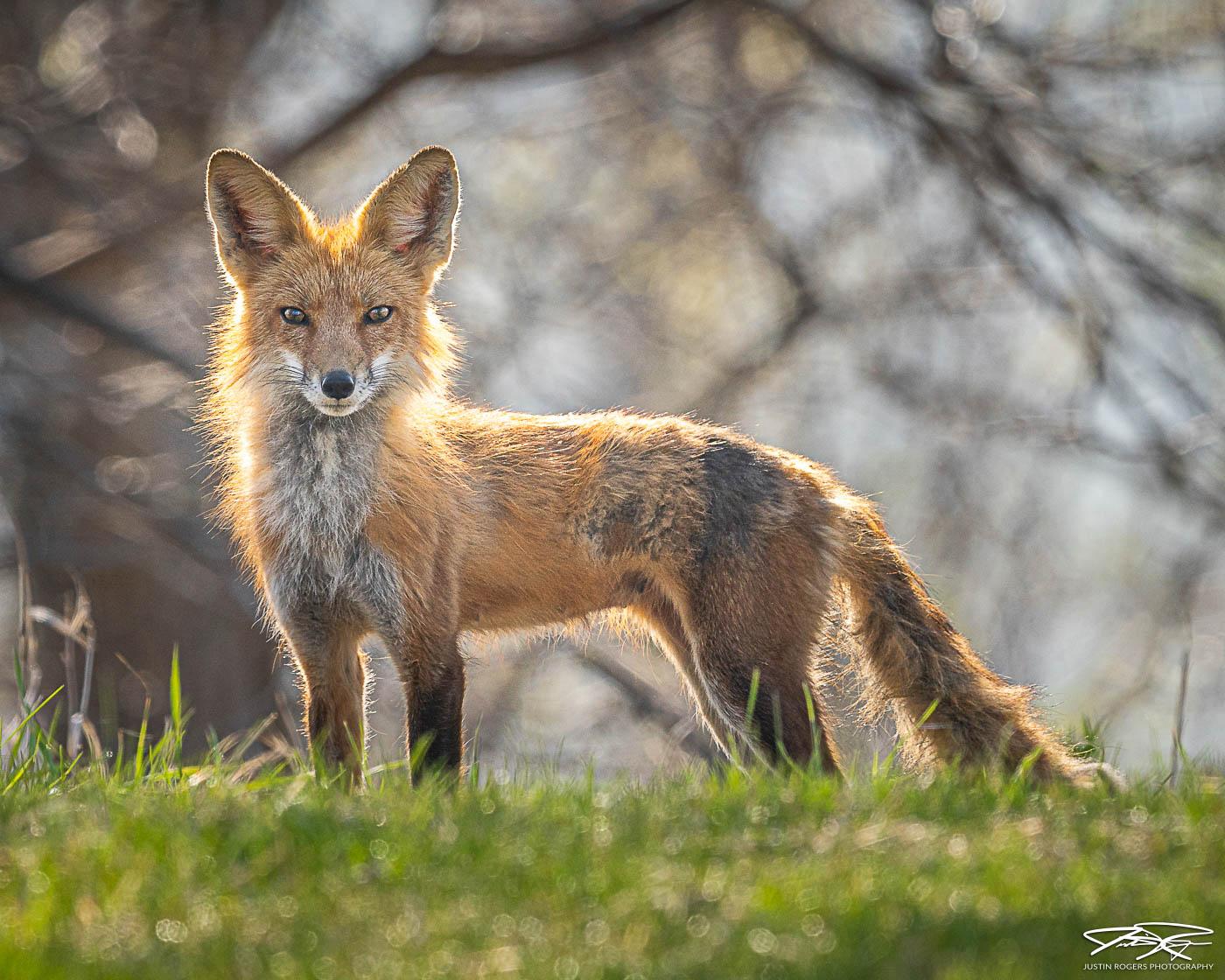 2021-01-fox-image